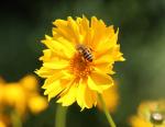 Biene mit Blüte