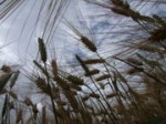 Eine Verunreinigung von 0,1Prozent bedeutet, dass pro Hektar 100 Gentechnik-Pflanzen wachsen.