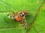 Mittelmeerfruchtfliege Insekten