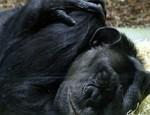 Schimpanse Affe gentechnisch verändert Patent
