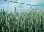 Schaugarten Üplingen Weizen 2