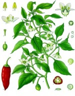 Capsicum annuum - Spanischer Pfeffer oder Paprika