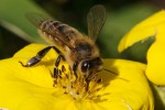 Pesticides pose a risk to honey bees