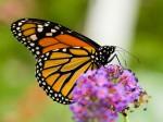 Monarchfalter Schmetterling
