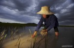 Thai rice farmer