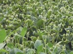 Sojapflanzen mit Dicamba-Schäden — Soybeans showing the cupped leaves which are a symptom of dicamba injury. (Photo: U of A System Division of Agriculture; http://bit.ly/2isaTx4; https://creativecommons.org/licenses/by-nc/2.0/)