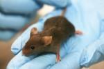 Maus Labor Tiere