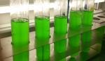Cyanobakterien im Labor. Foto: Klaus Brilisauer