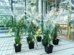 Weizenpflanzen des Pilton-Projekts im Gewächshaus. Foto: Alexander Schlichter