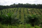 Deforestation for oil palm plantations