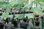 Gurken Pflanzenzucht Züchtung