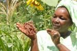 Sorghum Kenya
