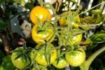 """Das Saatgut der Open Source Tomate """"Sunviva"""" darf frei genutzt, vermehrt, weiterentwickelt, züchterisch bearbeitet und im Rahmen bestehender Gesetze weitergeben werden. (Foto: Open Source Seeds)"""