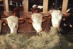 Kühe Futter Futtermittel Stall