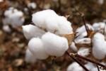 Qualitätsmaßstab bei Baumwolle ist die Faserlänge (Foto: flickr.com, chapstickaddict, (CC BY-NC-ND 2.0))