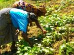 In Afrika übernehmen Frauen einen Großteil der landwirtschaftlichen Arbeit, Foto: flickr. com / IFPRI Images (CC BY-NC-ND 2.0)