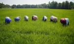 Reis Reisbauern Indien